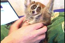 Slow Loris / He is in pain in fact :(