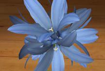Dzwonek skupiony / Dzwonek skupiony (Campanula glomerata) to długowieczna bylina o owłosionych pędach zasychających na zimę.  Osiąga do 70 cm wysokości. Łodyga jest silnie owłosiona, a liście szerokie, ciemnozielone, nierówno piłkowane na brzegach, pod spodem pokryte ostrymi, szarofioletowymi włoskami. Dzwonek skupiony kwitnie od VI do IX.