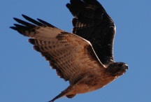 Hawks / Hawks we have rescued and released