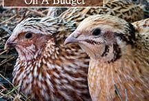 cadornices quail
