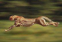Cheetahs for all ocaisions