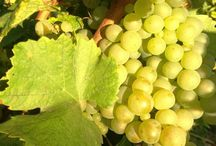 Champagne Grapes / There are 3 types of Grapes used for Champagne making : Chardonnay, Pinot Noirs and Pinot Meunier We love Champagne: www.the-champagne.ch Zürcher-Gehrig AG Switzerland @ZGAChampagne	 www.facebook.com/pages/Zurcher-Gehrig-AG