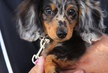 Ollie:  Long Haired Dapple Doxie
