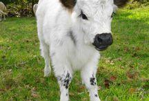 Vacas y becerros