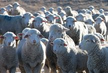 Rambouillet Sheep / Pictures, facts, links, and project inspiration for the yarn of the Rambouillet breed of sheep.