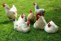 ~*I got Chickens!~* / .