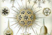 Haeckel Phaeodaria