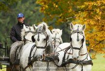 starokladrubský kůň - old - kladrub´s horse