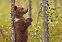 ➤ BEARS