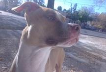 Pit bull Zeus / pitbull