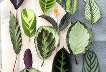 Maranthen | Calanthea / Zimmerpflanze Calanthea in vielen Variationen
