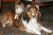 I ♥ Shelties / I definitely love Shelties.  They are smart and beautiful. ♥ / by Rebecca Walker