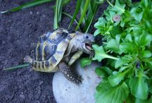 turtle with balcone
