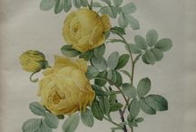 Roses by Redouté / Botanical illustrator Pierre-Joseph Redouté took a walk through the Empress Josephine's rose garden in the early 1800s. Here's what he found.