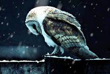 Chouettes - Hiboux - Owl -