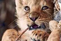 Bébé Lions