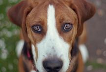 Hamiltonstövares - Best Dog Breed Ever! / The Hamiltonstövare is a breed of dog, bred as a hunting hound. The breed was developed in Sweden. More: http://en.wikipedia.org/wiki/Hamiltonst%C3%B6vare