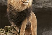 Big Cats / Lions, tigers, panthers. Etc.