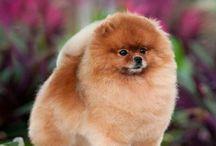 Pomeranian haircut