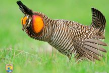 Prairie Chicken