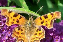 vlinders/.butterflies & motten/moths