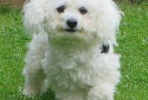 Our Bichon Frise, Blanco