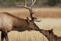 Elk in Cherokee, NC