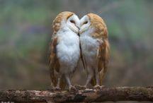 Peçeli baykuşlar