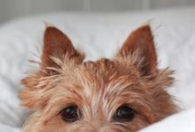Norwich Terrier / Billeder af Norwich Terrier