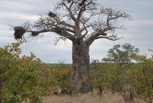 Trees of Kruger national Park