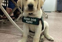 Guide Dogs/Therapy Dogs