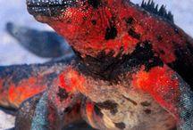 Marine Iguanas / I saw these on Planet Earth 2 and I'm mesmerised by them!!! Xxx
