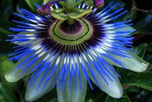 Passiflora  / by Tiffany Brown