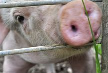 Piggies / by Saving Common Cents