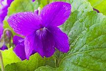 Lavender n' Violet body Scrub