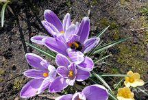 Wiosna -krokusy / wiosenne kwiaty krokusiki