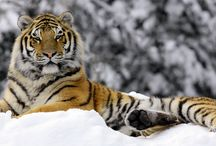 Tigers, Leopards, Lions & Panthers / Big Kitty Cats