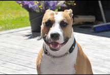 Amstaff / My dog