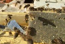 Bees 2016 / Bees beekeeping