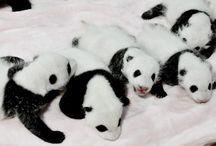 Pandy Wielkie  / Latem w chińskim ośrodku urodziło się aż 14 pand wielkich. http://www.facebook.com/media/set/?set=a.738083706208147.1073741835.441948489155005&type=1