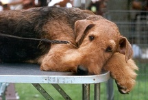 Airedale pooches