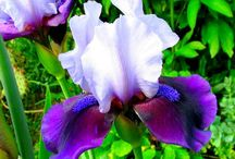 ♢IRIS FLOWER ♡♢ / This board contains pictures of various types of iris flowers posted by our group board members. I hope you enjoy this board :-) Charl ( comments welcome )