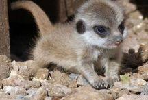 Meerkats / Mirket (Suricata suricata), 30 cm boylarında, koloni halinde yaşayan, Afrika'ya özgü etobur memeli bir hayvan. 14 yıl kadar yaşarlar