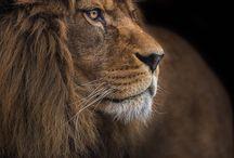 leões ❤