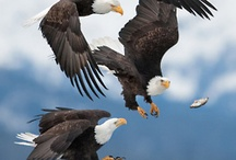 Eagles / Eagles of the world.  Eagles, large birds of prey. / by Sandra Hazen