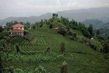 Hediyelik Çay ve Fındık / Giresun fındığı ve Giresun çayı