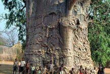 Asırlık Ağaçlar