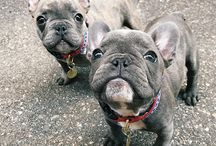 frenchie trouble