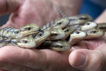 Blue tongue lizards!!!