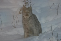 Minnesota Lynx Ely, MN January 2013